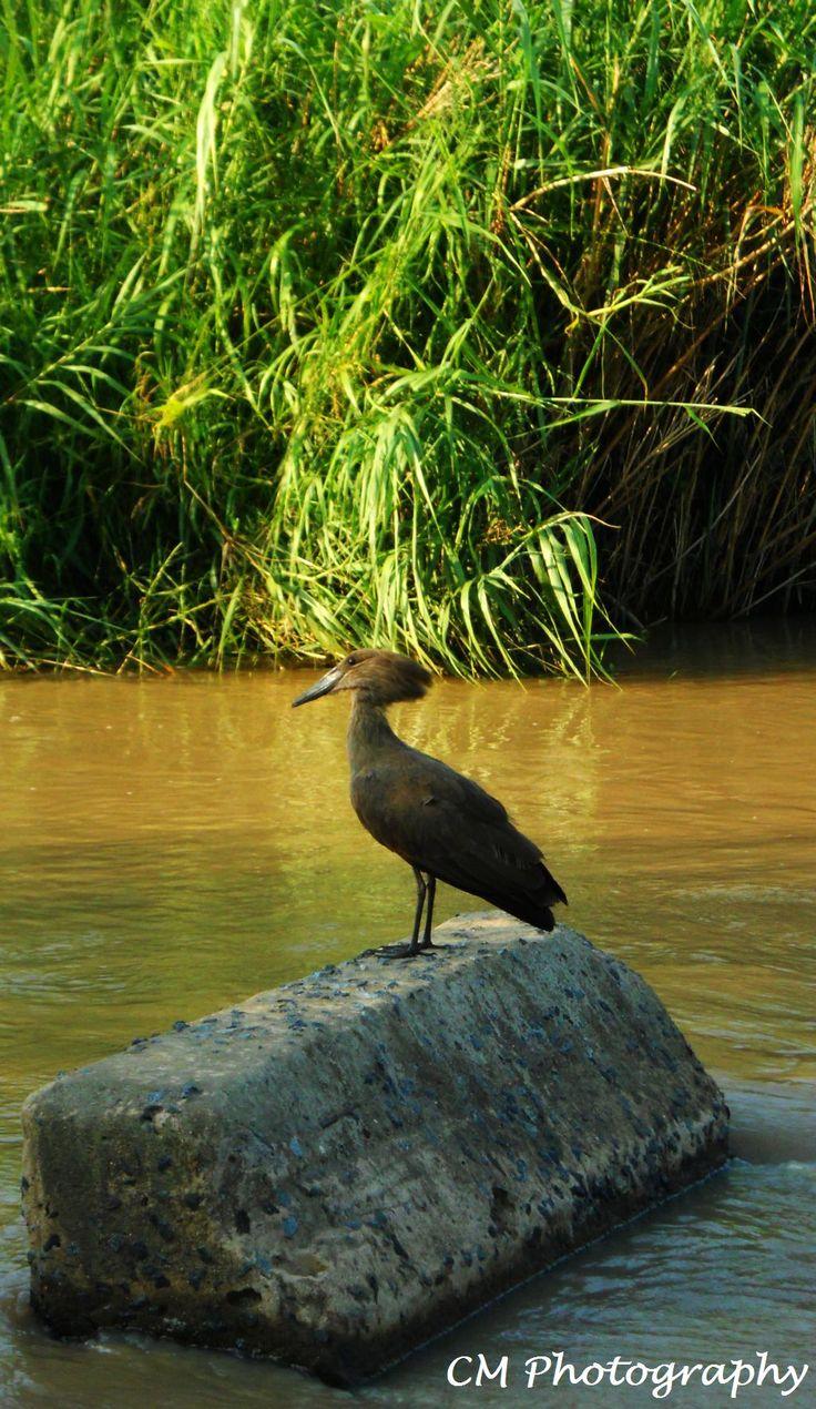 HamerKop Bird