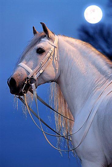 Horse by moonlight - Portfolio Paardenfoto's « Hypo Focus Paardenfotografie
