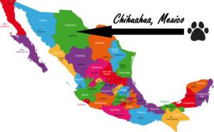 History of the Chihuahua Breed