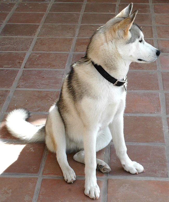 disappointed husky - photo #19