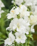 Snapdragon 'Chantilly White' Butterfly Type Open Face Flowers Tall Antirrhinum majus