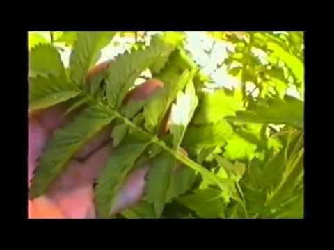 Conoscere le piante medicinali: Agrimonia - Valerio Sanfo - Naturopatia - YouTube
