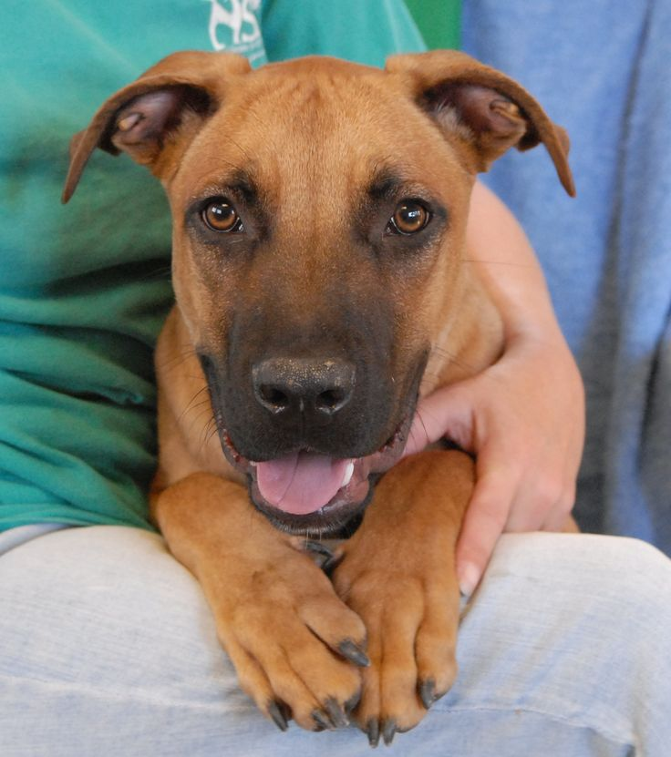 Scooby is a fun-loving, affable junior puppy who would love to become a cherished member of your forever family.  He is a super cute Boxer & Shepherd mix, 9 months of age, neutered boy, debuting for adoption today at Nevada SPCA (www.nevadaspca.org).  Scooby adores people with all of his heart and gets along well with other dogs too.  At the time of rescue he was at another shelter that had run out of space.  Please visit and ask for Scooby by name.