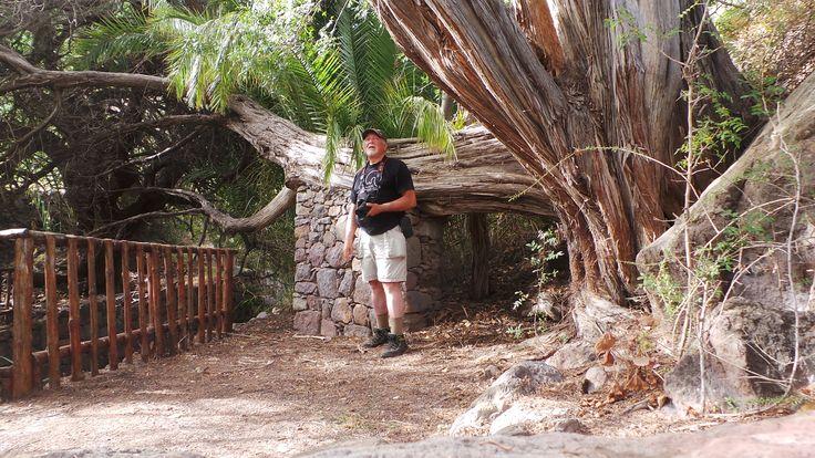 La Sabina de Tirma en Gran Canaria Tocar o desplazar la foto para ver toda la galería Un enorme ejemplar que se le estima una edad de unos 500 años.Se encuentra en el cauce de un pequeño barranco r…