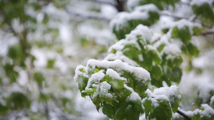 Snow in Spring Garden