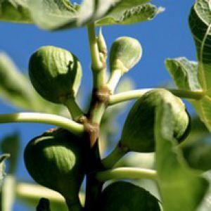 Le figuier est un formidable arbre fruitier, au feuillage tout à fait original. Plantation, entretien et taille participent à la qualité de la récolte des figues