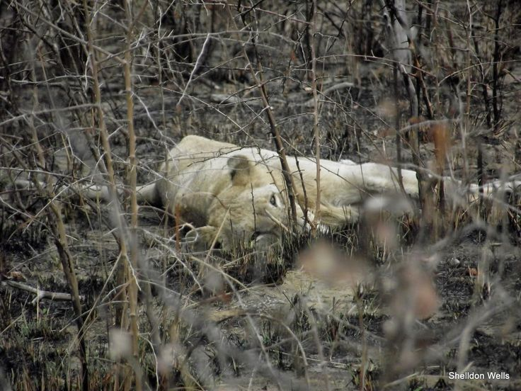 lioness on our durban day safari tour to the hluhluwe imfolozi game reserve