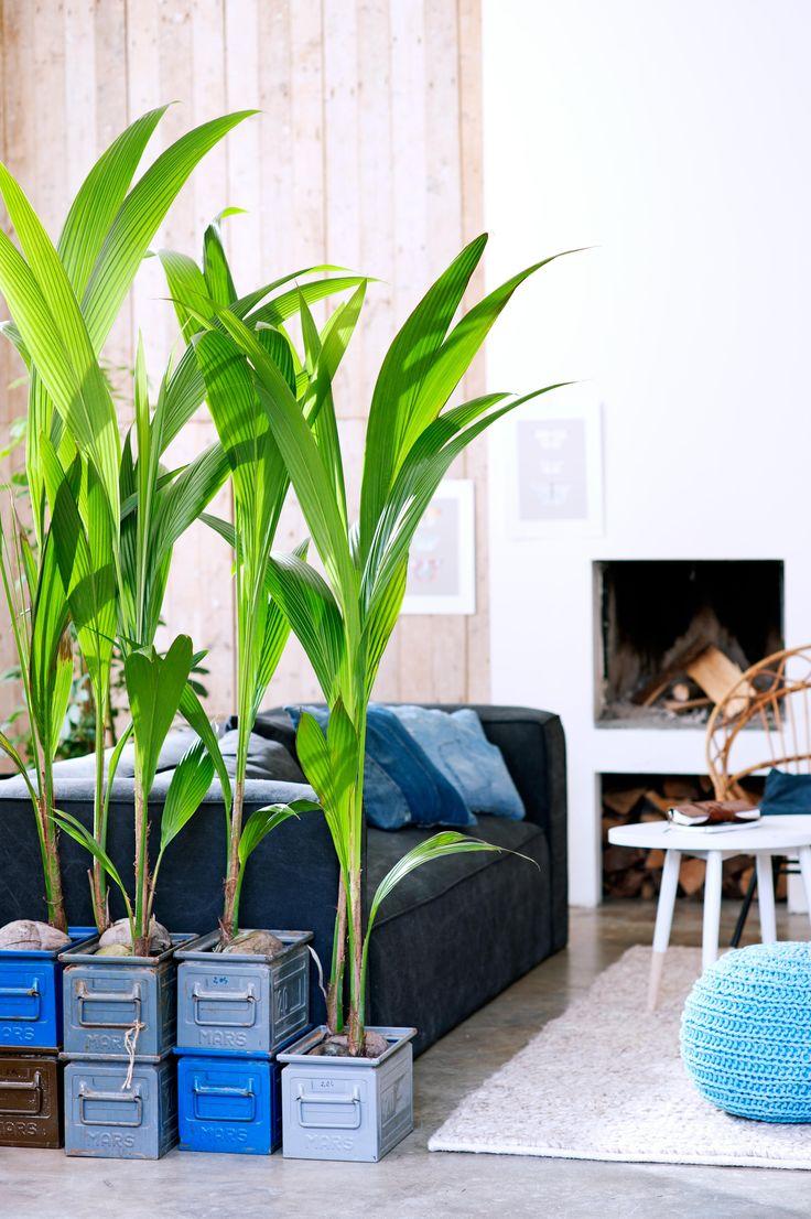 Plantes tropicales coups de cœur pour l'intérieur-Palmiers, cocotiers, papyrus… Certaines plantes tropicales s';acclimatent très bien dans nos intérieurs. Et leur feuillage luxuriant fait chaud …