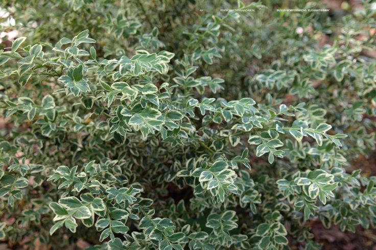 Buxus sempervirens = palmboompje, wintergroene struik, kan 2-3 m. worden, kan als onderbeplanting worden gebruikt. Verdraagt goed snoei: dus vorm of haag hiervan kan goed.