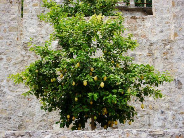 ber ideen zu zitronenbaum auf pinterest spalierb ume mango z chten und garten. Black Bedroom Furniture Sets. Home Design Ideas