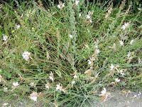 Ασφόδελος-Αsphodelus aestivus Άλλες ονομασίες: Σπερδούκλι, ασπέρδουκλας, ασφεντυλιά, ασκέλα Οικογένεια: Λειλιϊδών-Liliaceae