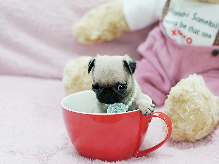 Precious Teacup Pugs Available at BoutiqueTeacuppuppies.com