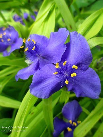 "Spiderwort ""Sweet Kate"" in the June Garden ~ Our Fairfield Home and Garden   http://ourfairfieldhomeandgarden.com/june-garden-our-fairfield-home-garden/"