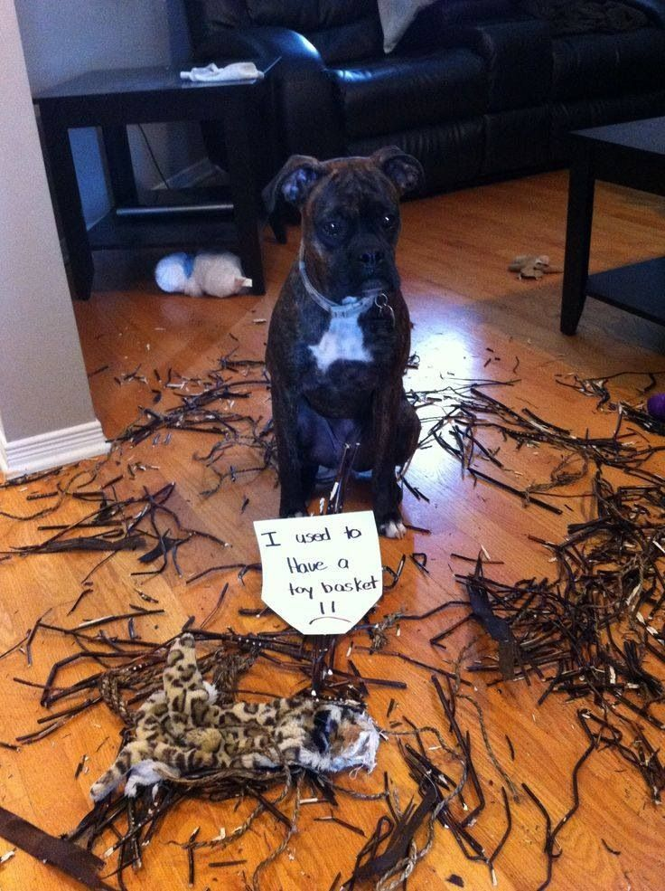 At least the poor pup has the decency to look guilty...and adorable!
