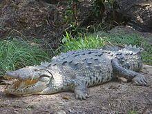 American crocodile - Wikipedia