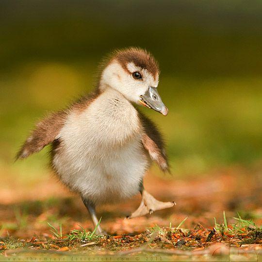 dancing baby duck