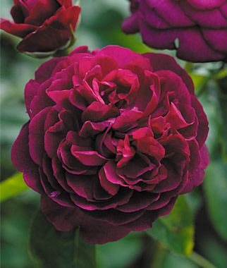 Darcy Bussell Rose - A classic English rose variety. Prolific bloomer in a crimson mauve color with fragrance. Compact shrub for small gardens or accents. Full sun. Height: 3' Spread: 2-3'