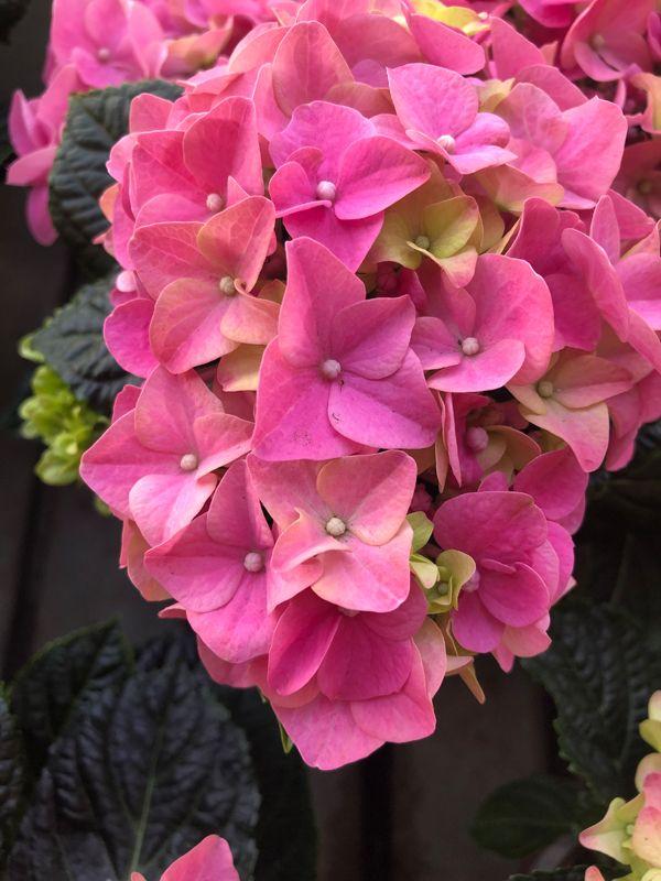 Pink One Winterharte Pflanzen Pflanzenwelt Bepflanzung
