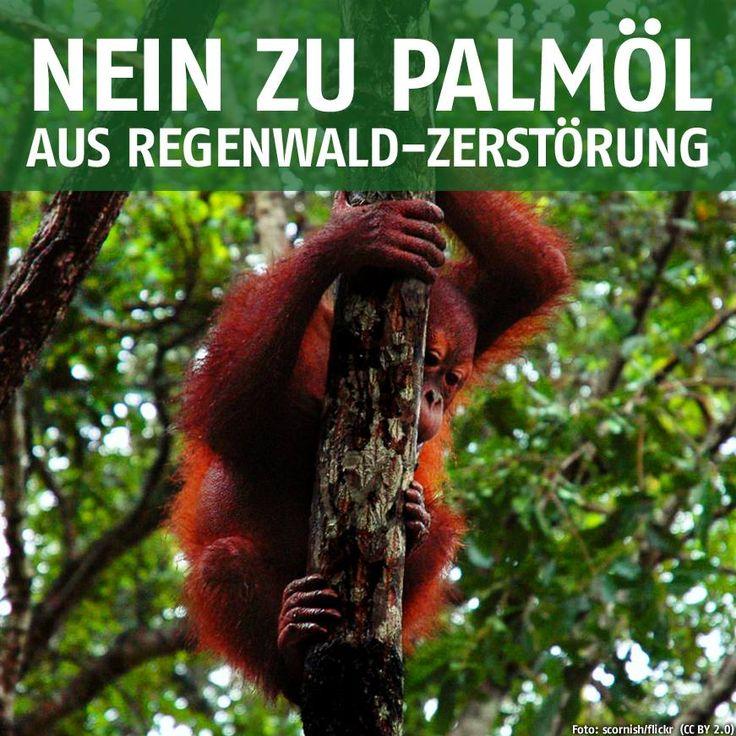 """Die neue EU-Lebensmittelinformationsverordnung ist in Kraft getreten. Der nichtssagende Zutatenaufdruck """"Pflanzliche Fette"""" ist Geschichte - wo #Palmöl drin ist, muss auch Palmöl drauf stehen. Die neue Kennzeichnung macht ein Problem sichtbar: Der zunehmende Verbrauch an Palmöl bedroht die #Tropenwälder der Welt. www.gruene-bundestag.de/palm-oel"""