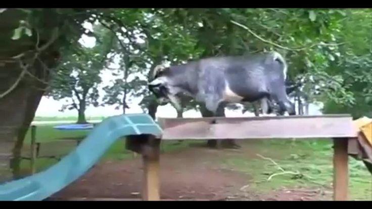 Реально смешные козы