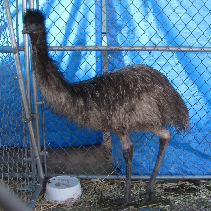 Did anyone see an emu? Hayward Animal Shelter Pets