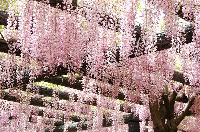 Pink wisteriaPink Wisteria, Things Pink, Beautiful Pergolas, Decor Pink, Pink I, Wisteria Gardens, Gardens Backyards, Backyards Flower, Pink Gardens