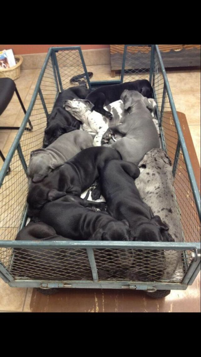 Basket full of Great Dane puppies.
