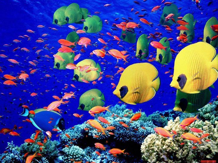 Pesci colorati - sfondi per desktop: http://wallpapic.it/oceano-e-mare/pesci-colorati/wallpaper-11448