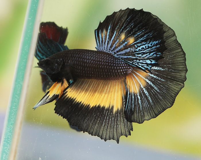 572 best fabulous beta fish images on pinterest for Black and white betta fish