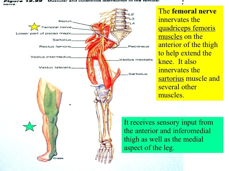 Femoral Nerve Location And Function Craftbrewswagfo