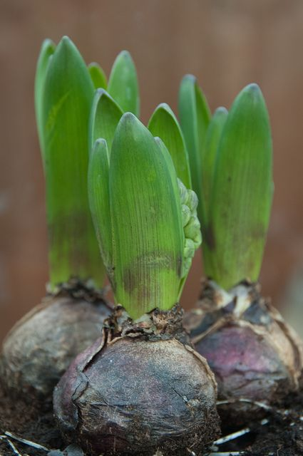 bulbs showing signs of new life