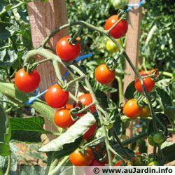 astuces pour la culture de la tomate