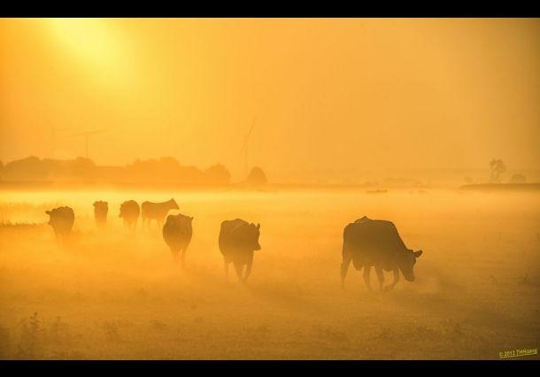 Koeien in het gouden ochtendlicht. Door communitylid THHoang - NG FotoCommunity ©