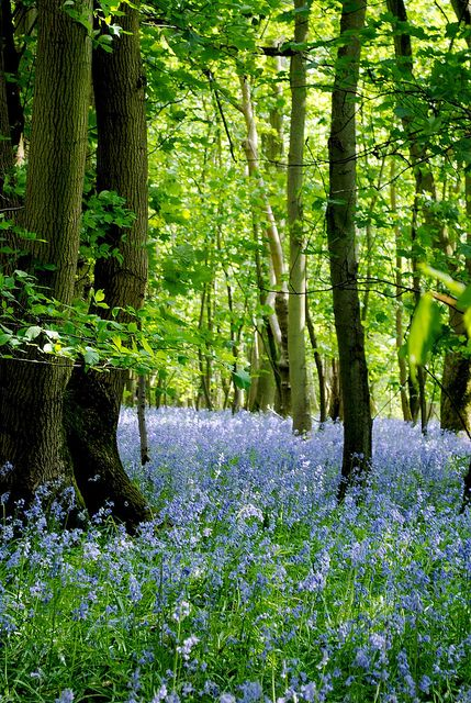 "Bluebell Forest, Oxfordshire...""and Richard waded through the bluebells.  Hush, could that be a deer?"""
