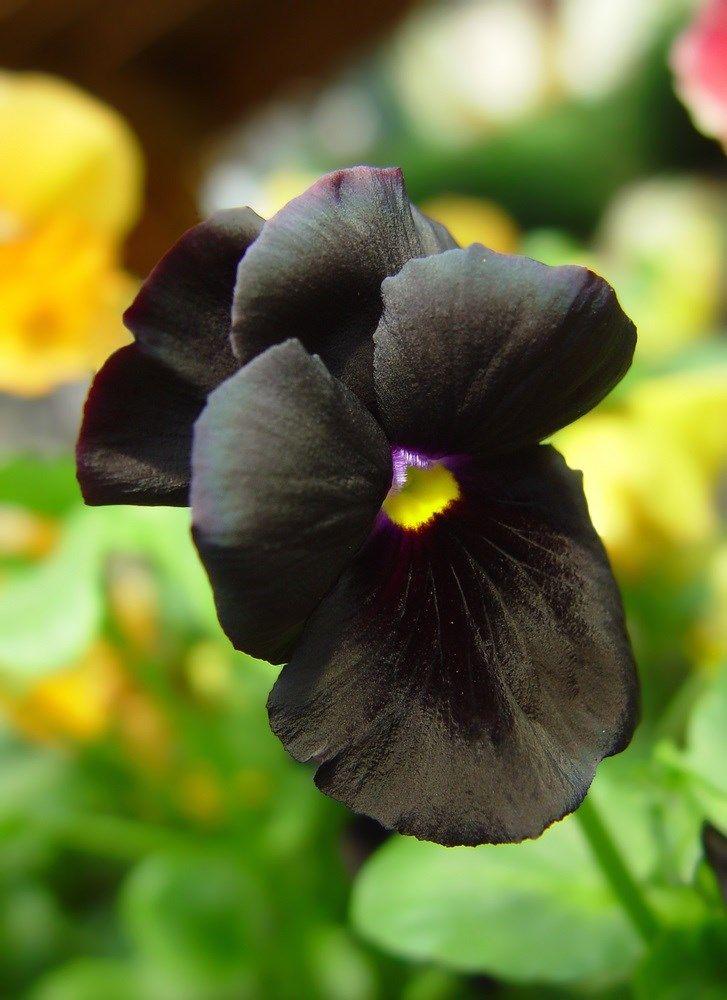 6. Amor-perfeito negro