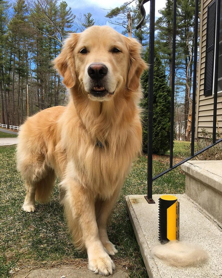 training a golden retriever 25 best ideas about large dogs on pinterest big dog 3184
