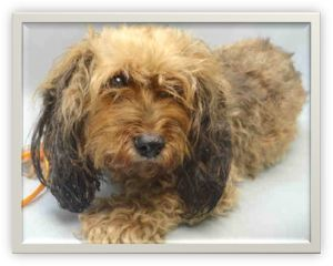 ***MUST FIND LOCAL VET CARE BY 6PM*** Coco Cocker Spaniel Mix Unable to Urinate and Has Possible Bladder Stones!