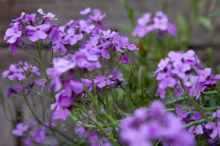 Plant profile of Hesperis matronalis on gardenersworld.com