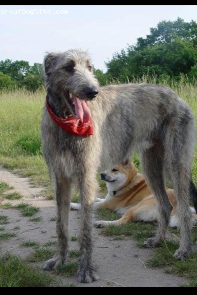 Great Mix Wolfhound Dane Irish