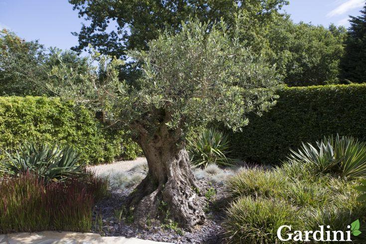 De olijfboom, een echte klassieker en onmisbaar in de mediterrane tuin. Vergeet hem niet naar binnen te halen in de winter!