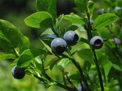 The huckleberry is the state fruit of Idaho.