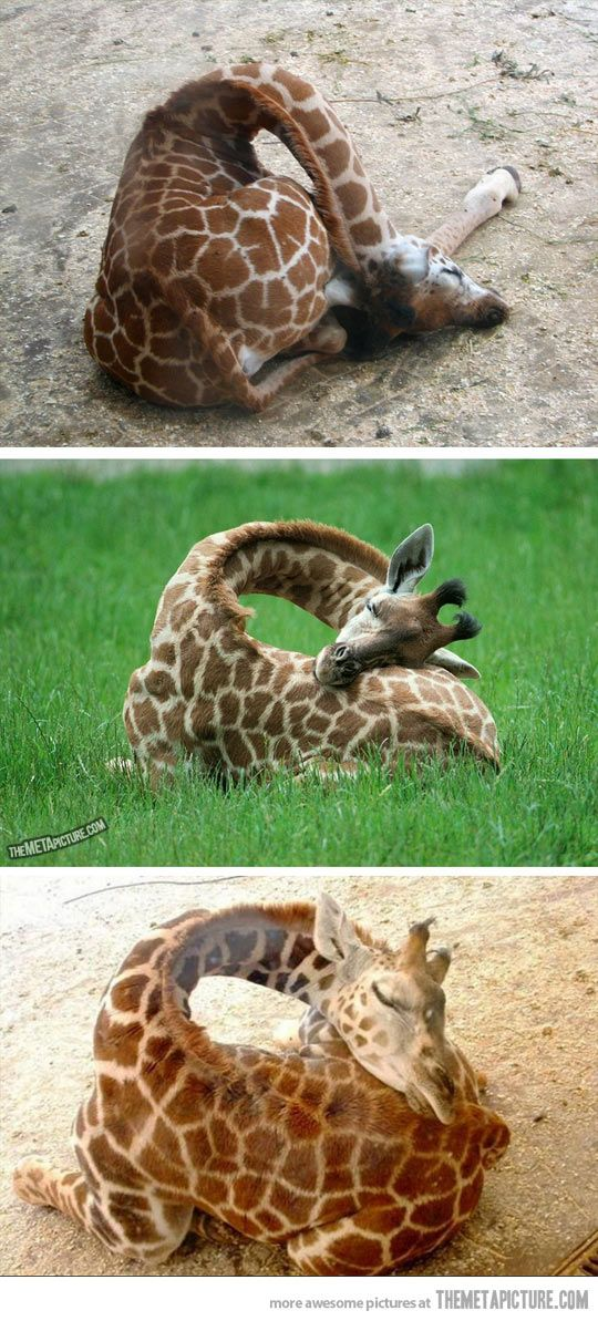 How giraffes sleep… so weird but cute