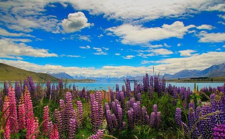 Красочные цветы люпина на озере Текапо, Новая Зеландия. Обсуждение на LiveInternet - Российский Сервис Онлайн-Дневников