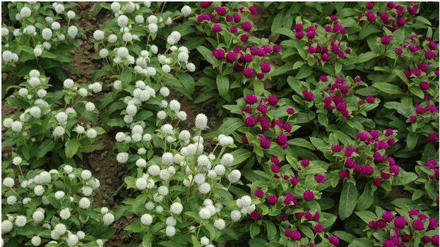 Craspédie (Craspedia globosa) - květiny vhodné k sušení