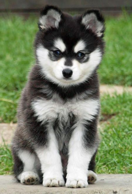Moko the Alaskan Klee Kai-GORGEOUS!!!!