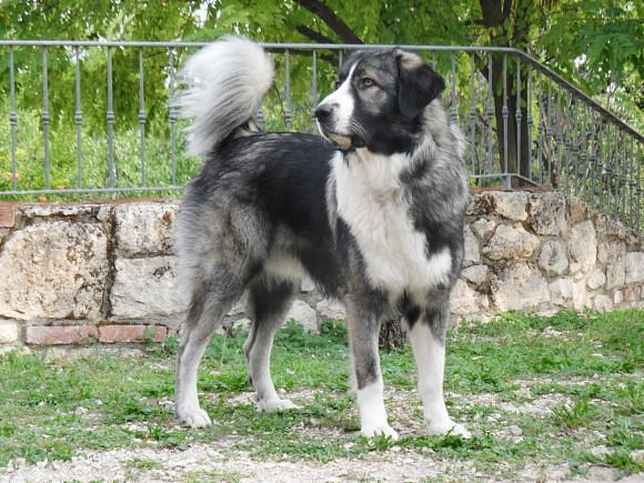 Romanian carpathian shepherd dog