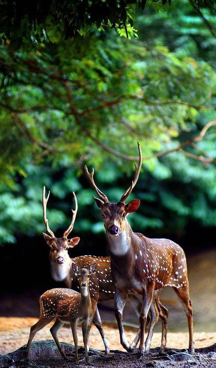 Deers in the Forest.. (Sam Lim Photography)
