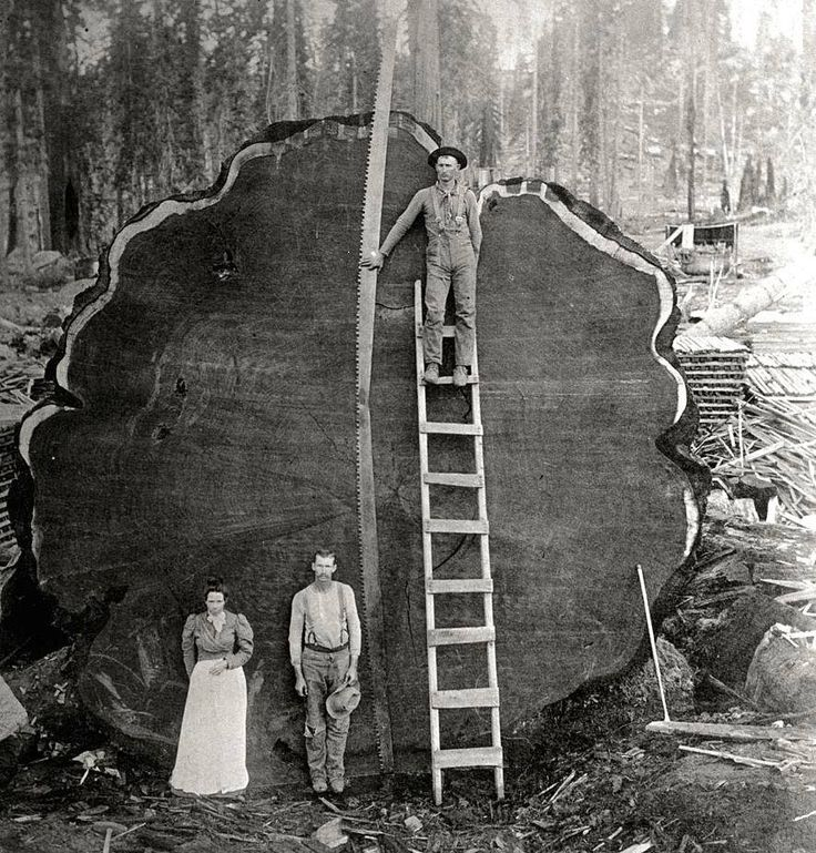 Jody Brown Jr.Old Logging Pictures note: the long buck saw is 2 saws welded together.