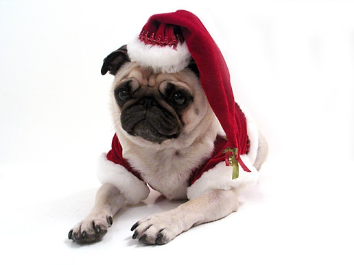 34 Best Merry Pugmas Images On Pinterest Christmas Cards