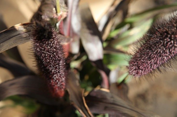 Ornamental Millet Plant Close Up for Autumn Container Gardening, Gardenista